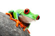 frog on rock isolated white