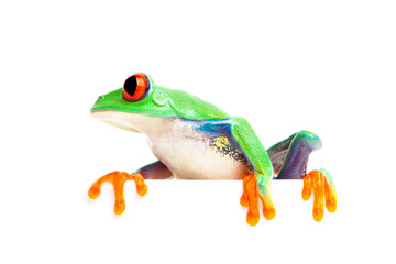frog on edge isolated white