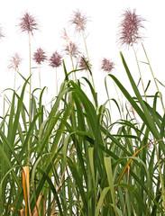 champ cannes à sucre fleurs fond blanc