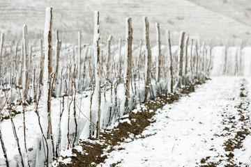 winter vineyards, Eko Hnizdo, Czech Republic