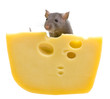 Funny rat and cheese isolated on white