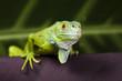 Gecko - 19791400