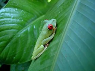 grenouille aux yeux rouges