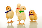Easter party gang - small chickens isolated with reflection poster