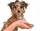 Maltese Yorkie Mix Puppy Getting a Bath poster