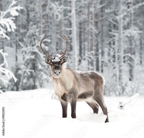 Spoed canvasdoek 2cm dik Hert reindeer