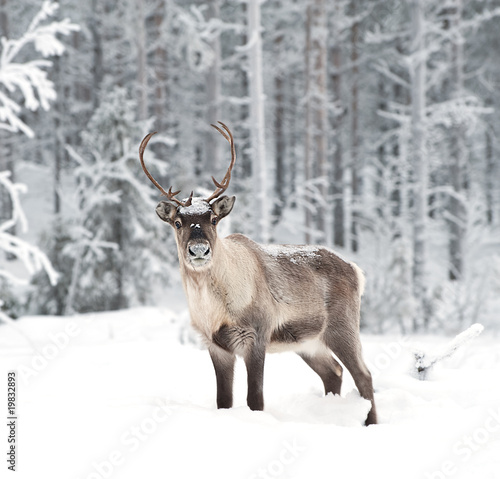 reindeer - 19832893