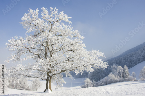 grosser baum im winter