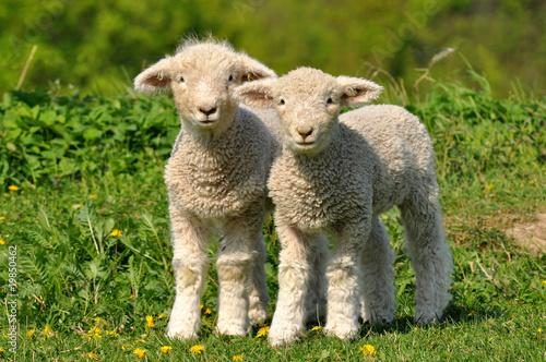 Leinwanddruck Bild two cute lambs
