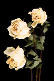 Withered white roses poster