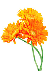 Three orange gerbera flowers