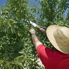 Farmer cuts back Olive tree in Murcia