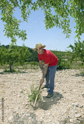 Farmer hoes stony ground in olive grove, Murcia