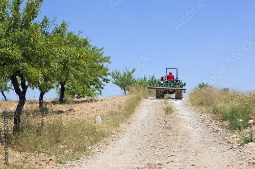 Farmer drives tractor on hillside with olive grove