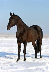 Black akhalteke horse standing on the winter field