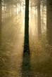 Light of the rising sun hidden behind the coniferous tree