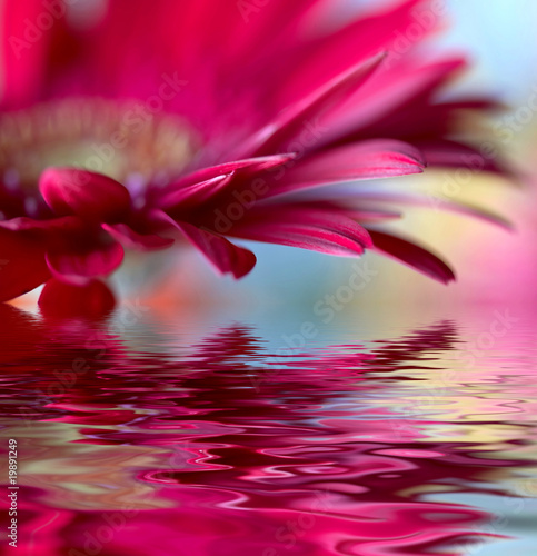 Closeup of pink daisy-gerbera with soft focus