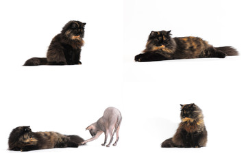 Persian tortie cat (PER f 62) isolate on white background