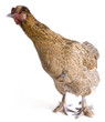 Pekin Bantam Cross Breed