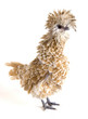 A blond feathered Polish Frizzle chicken