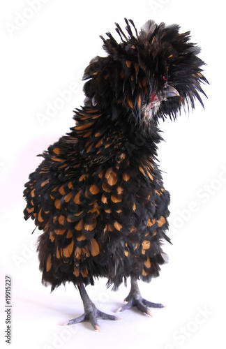 A brown Polish Frizzle chicken.