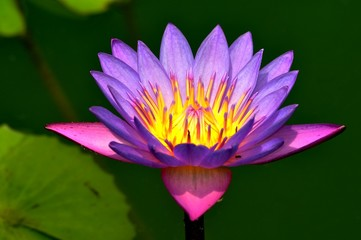 Lotus Flower, in full bloom