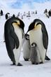 Leinwandbild Motiv Famille de manchots empereurs (Antarctique)