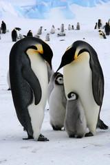 Famille de manchots empereurs (Antarctique)