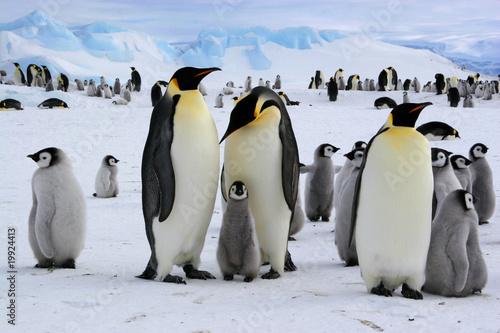 Leinwandbild Motiv Manchots empereurs de l'Antarctique