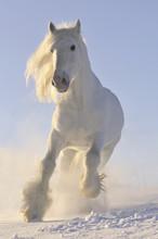 Blanc au galop courir un cheval en hiver