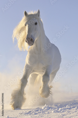 Papiers peints Equestre white horse run gallop in winter