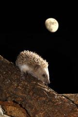 Erizo de noche