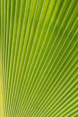 Détail feuille palmier éventail