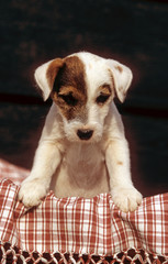 Adorable Parson Russell terrier chiot de face