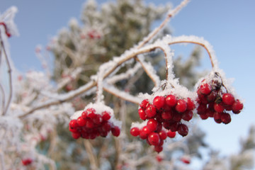 Red berries on ice-covered branches