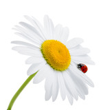 Ladybug is sitting on camomile against sky