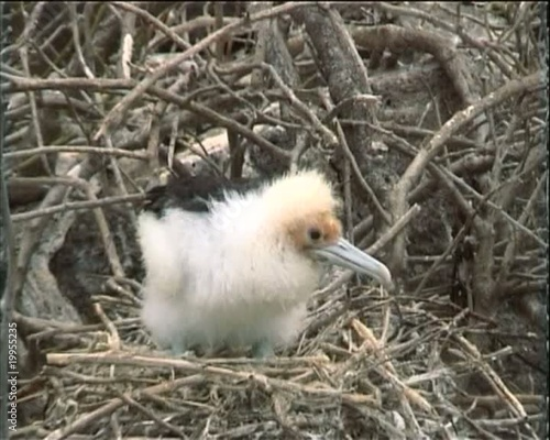 Galapagos great frigatebird chick on the nest