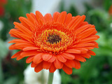 Large Orange Gerbera Daisy