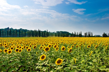 Sonnenblumen in der Toskana Italien