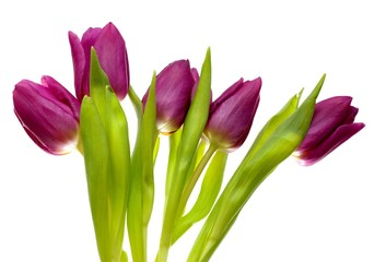 Violet spring tulips on white background