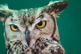 European Eagle Owl face on