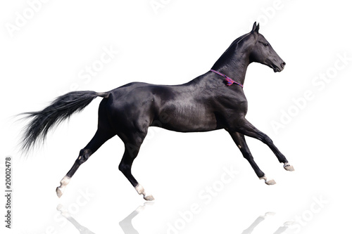 Beautiful akhal-teke horse isolated on white