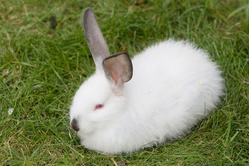 White rabbit in a grass