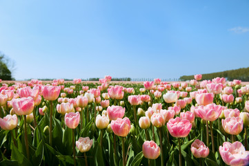 Pink tulips in the fields