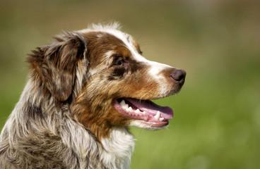 chien, berger australien