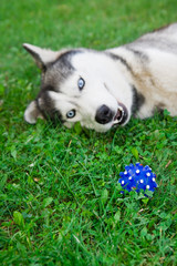 husky with ball on green grass. focus on ball