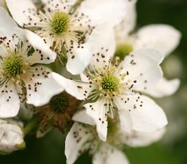 White flowers on a bush