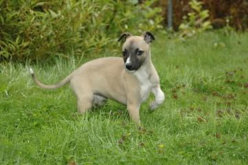 Whippet Puppy in wet grass