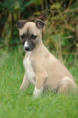 Whippet Puppy Shy Pose