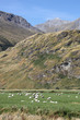 Sheep in mountains - Mount Aspiring National Park